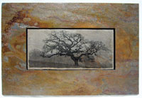 Sierra Slate Images Panoramic Oak Tree